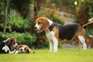 Beagle Cinsinin Genel Özellikleri